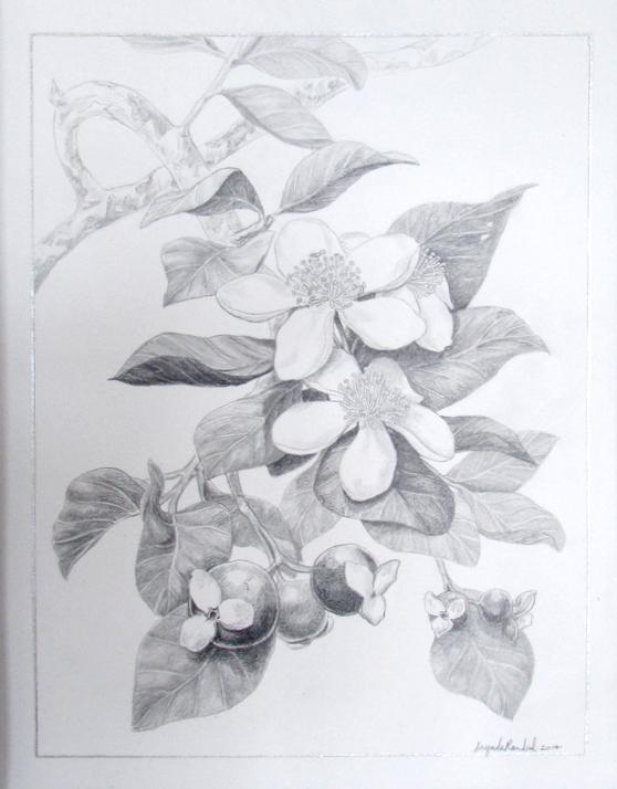 Guava Blossoms
