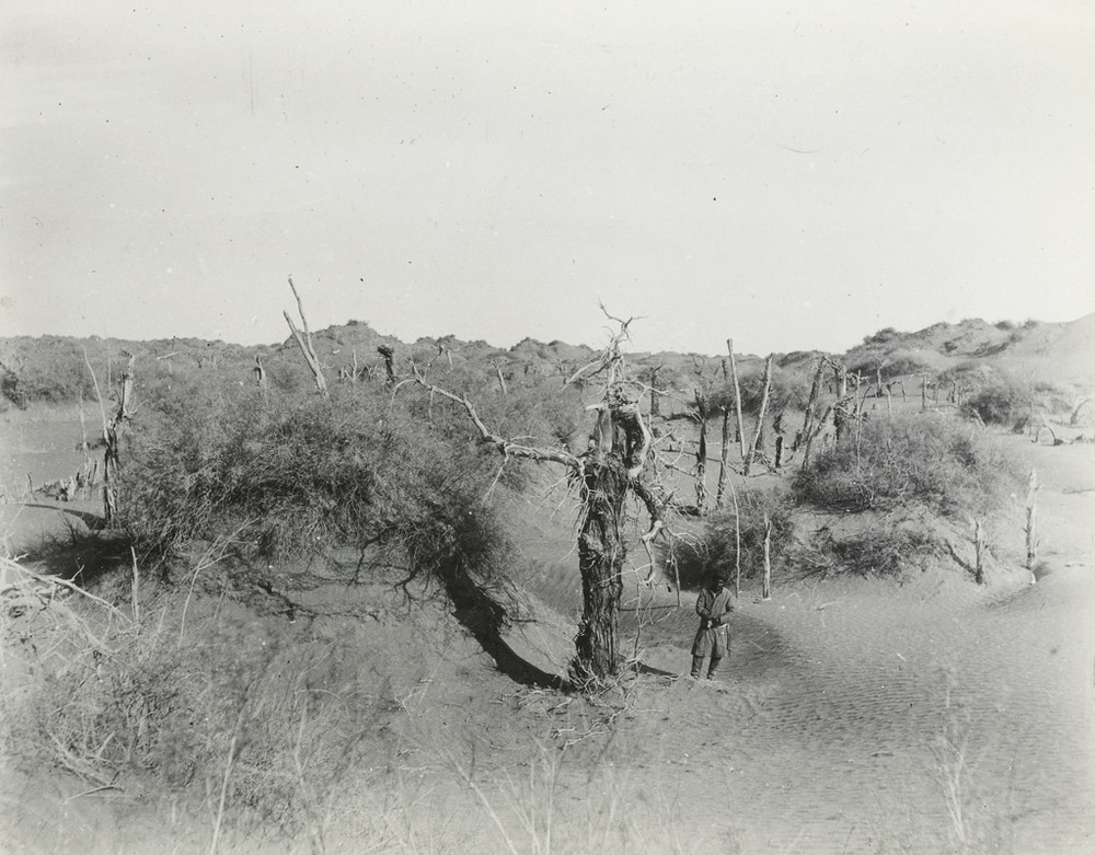 Ancient trees among tamarisk cones to the northeast of N.XXXIX. at Niya, December 1913. Photo 392/28(657) © British Library