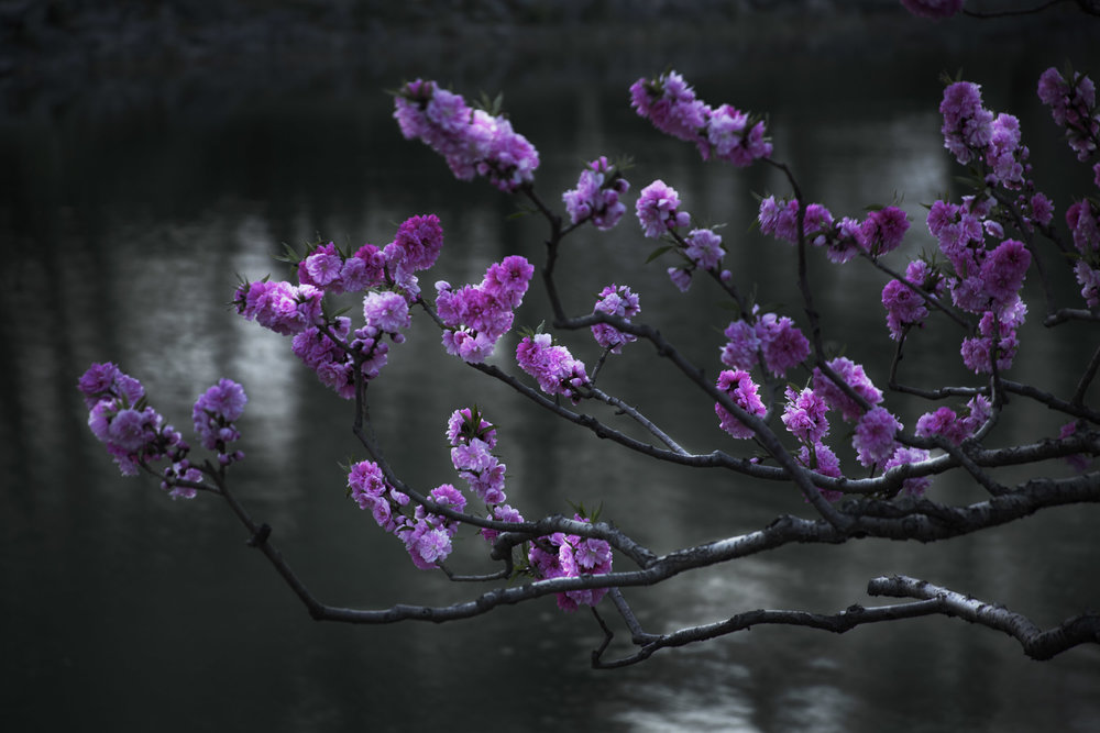 shen-wei-between-blossoms-photography-of-china-cherry_blossoms.jpg