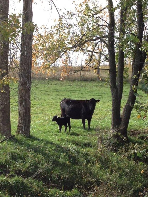 Fall cow_calf_Oct2013.jpg