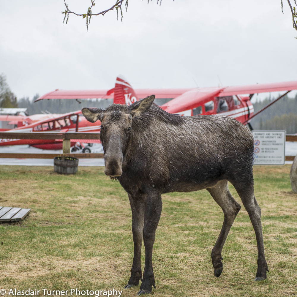 A Talkeetna local waits for a flight with K2.