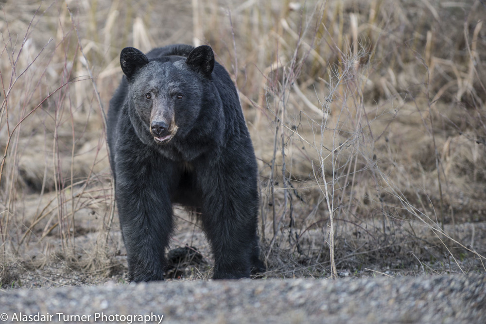 A slow moving black bear near the road.