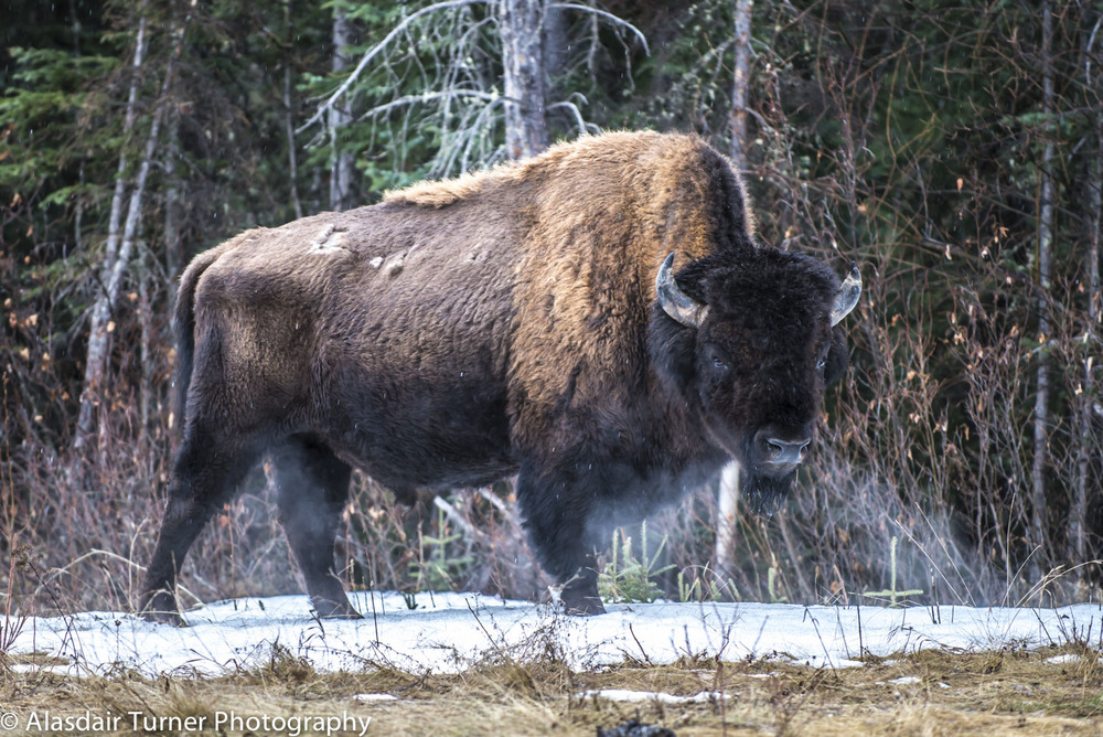 An American Bison on a cold morning in Northern BC.