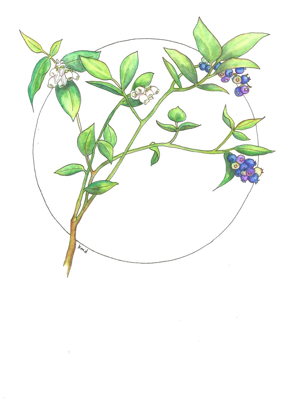 blueberry circle wobg.jpg