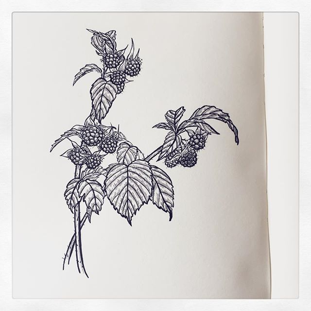 Raspberries from a walk last week, and trying out a brush pen I bought a while ago (plus my usual #micron005). It feels good to get back to sketching. . #drawing #blackwork #ink #inkdrawing #raspberries #wildraspberries #botanicalillustration #blackandwhite #penandink #brushpen #sundaysketch