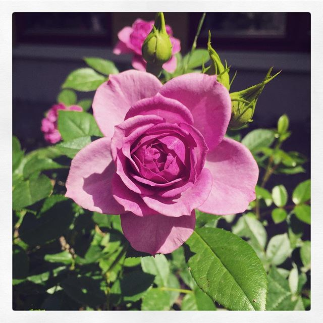 What a perfect rose growing just outside our apartment building... . #rose #drawingreference #purpleroses #photooftheday