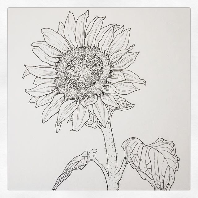 Working on a sunflower for @louiisagrace - thanks for you donation to @raicestexas! #watercolor coming soon... ... Offer of a free botanical drawing in exchange for DMing me your (new) donation receipts to RAICES, Mijente, Las Americas or KIND still stands - see previous post! . #artistsofinstagram #artgiveaway #botanicaldrawing #drawing #wip #workinprogress #ink #inkdrawing #sunflower #micron005 #linework #endfamilyseparation #endimmigrantdetention #abolishice #abolishcbp #dowhatyoucan