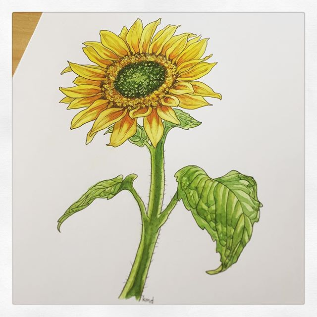 This little #sunflower is ready to send off tomorrow! If you'd like a botanical drawing of your own send me your new donation receipts to RAICES, Mijente, KIND or Las Americas (see previous post for more details). . #ink #botanicaldrawing #flowerdrawing #sunflowerpainting #painting #watercolor #micronpen #summerflowers #wip #artgiveaway #familiesbelongtogether #endfamilyseparation #abolishice