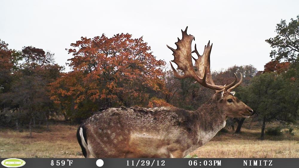 Fallow Buck.JPG