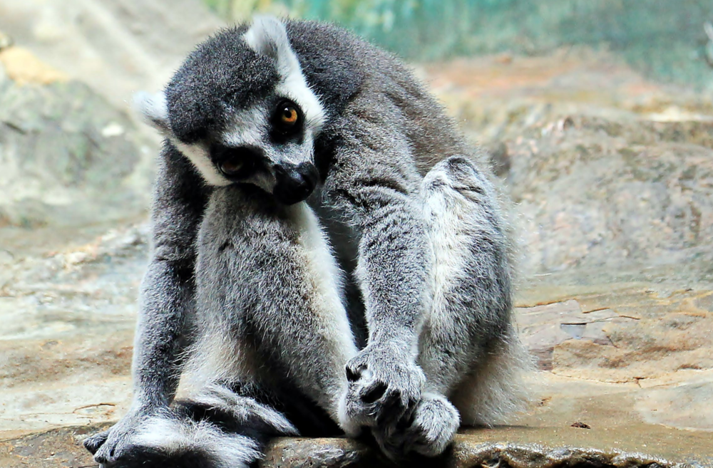 bored-lemur.png