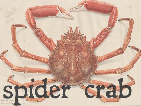 spider crab.jpg