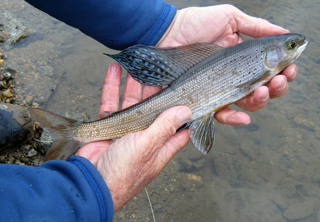 Arctic grayling in colorado ed engle fly fishing for Colorado trout fishing