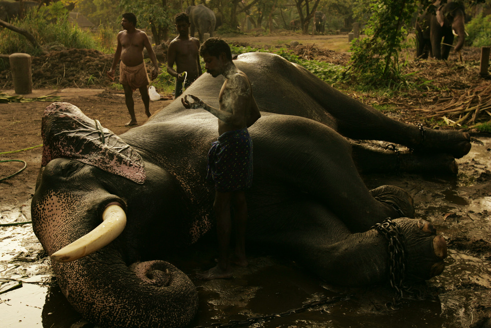 Men wash an elephant at the Hindu Temple of Punnathoorkotta, which houses 50 temple elephants who are cared for by men living at the temple in Kerala, India.