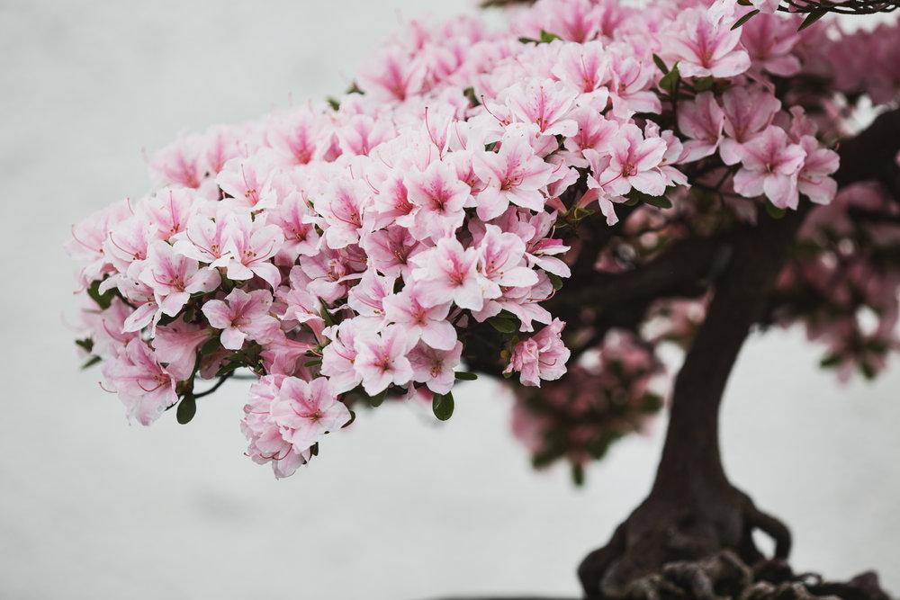 08-Rhododendron1982.JPG