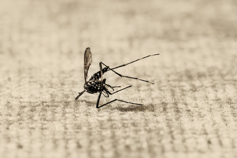Asian Tiger (Aedes albopictus) mosquito, carrier of Dengue fever
