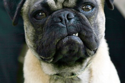 pug-dog-snarls-at-camera.jpg