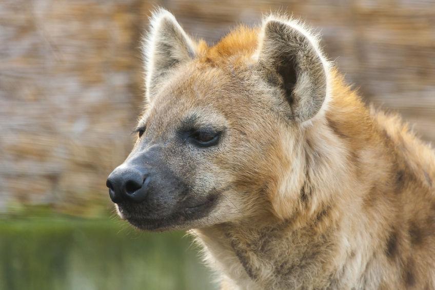 spotted-hyena.jpg