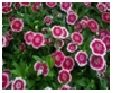 Dianthus         Choice : Mix