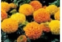Marigold         (Large Head)             Choose from  Mix, Orange, Yellow