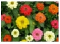 Zinnia              Choice : Mix