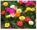 Portulaca                 Choice : Mix
