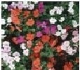 Impatiens            Choice : Mix