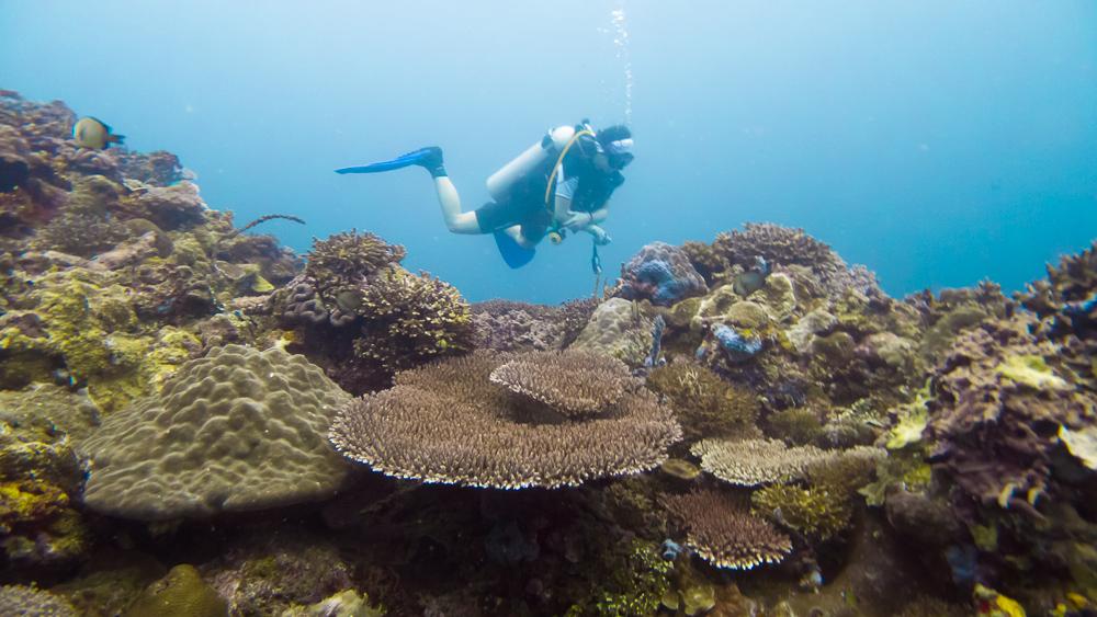 Nixee hovering over coral gardens at Bonifacio Reef