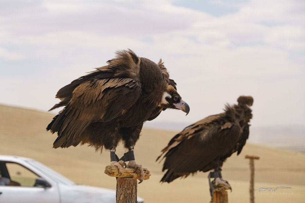 This vulture is bigger than some people I know... I was afraid it'd fly away with me in tow