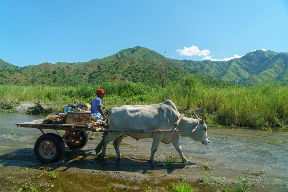 Carabao carts help to haul gear during the 90-minute hike
