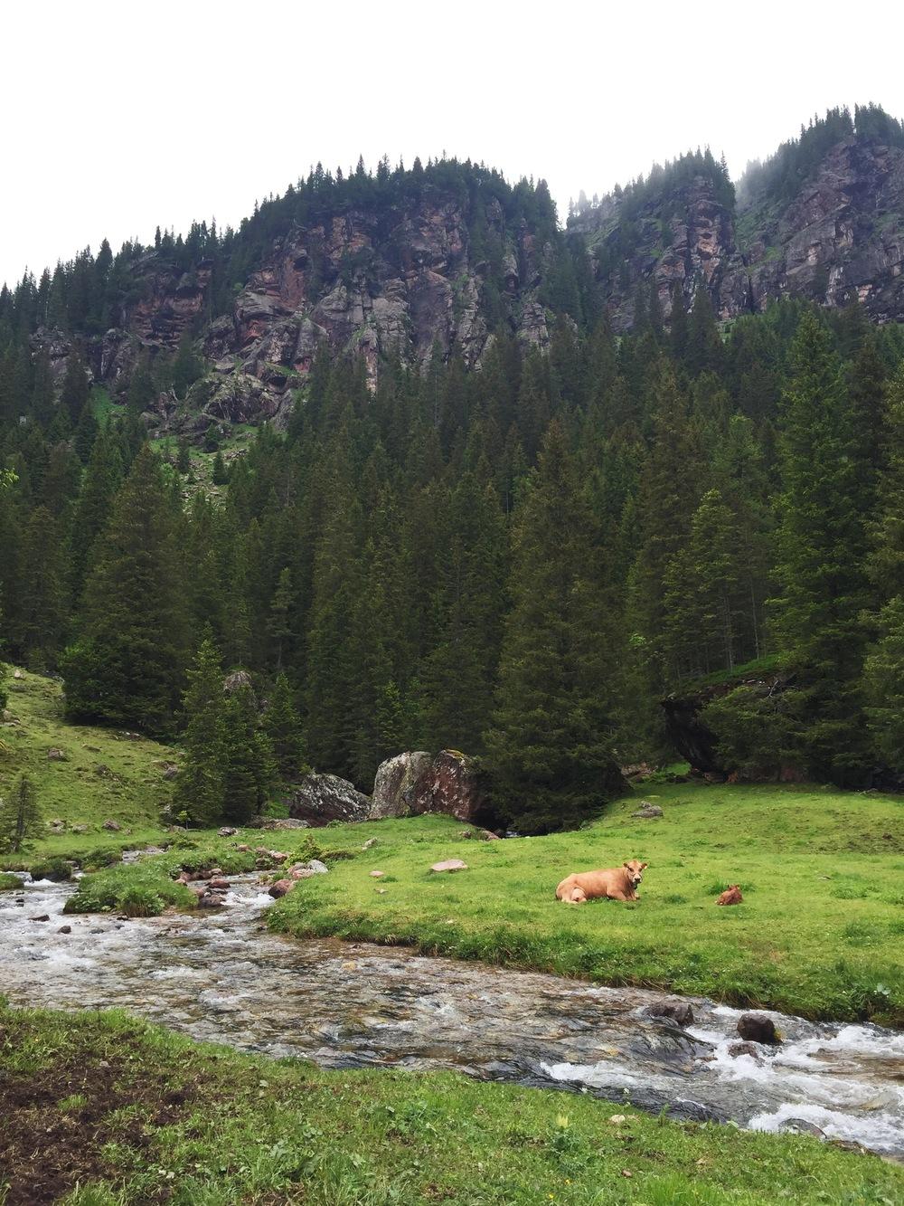 Kuhmama mit ihrem Kalb am Mürtschenbach
