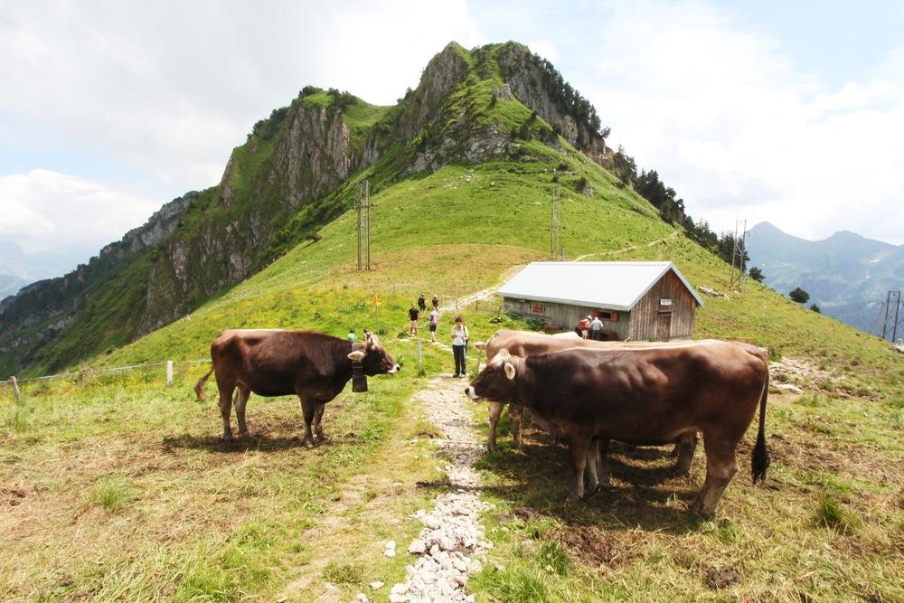 Empfang der Kühe