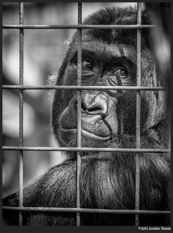 gorilla_trapped.jpg