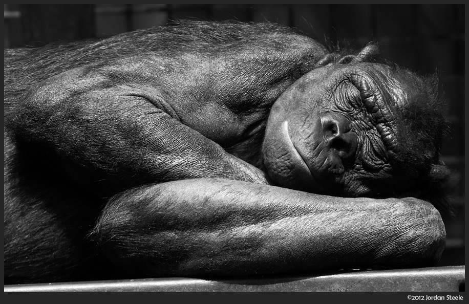 bonobo_asleep.jpg