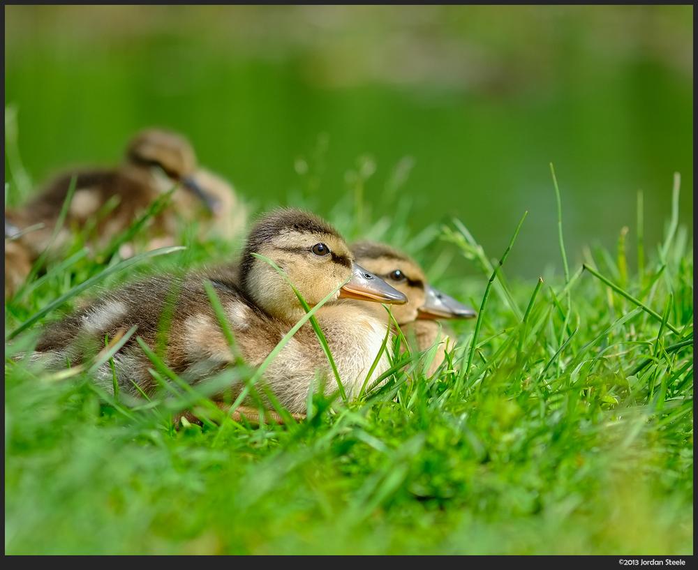 baby_ducks.jpg