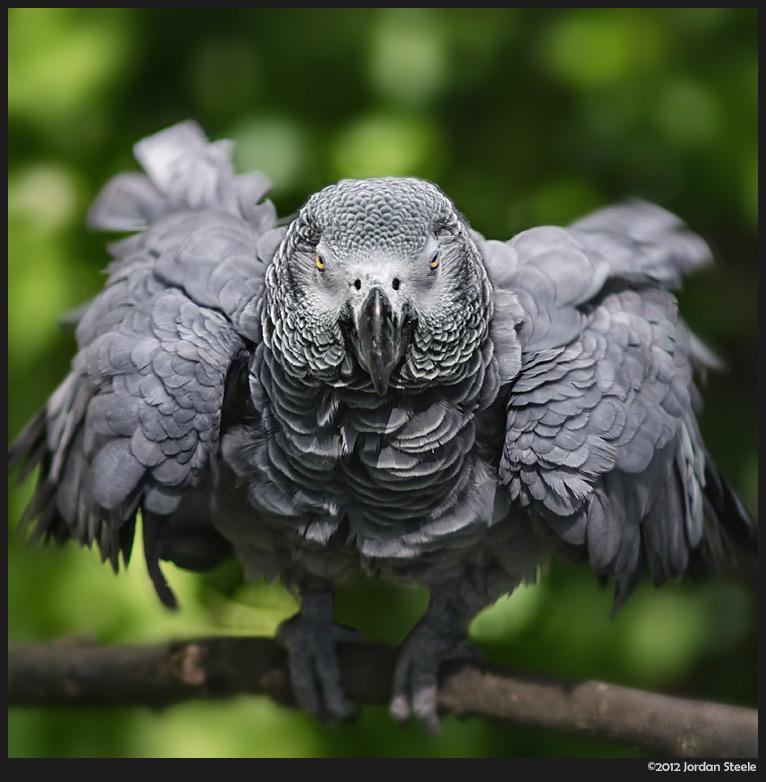 african_parrot.jpg