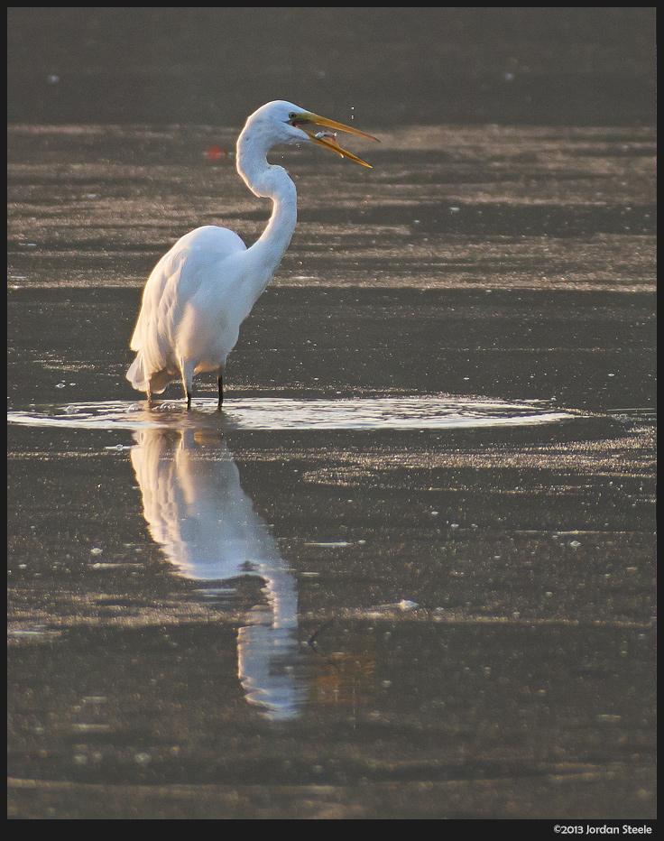 egret_fish.jpg