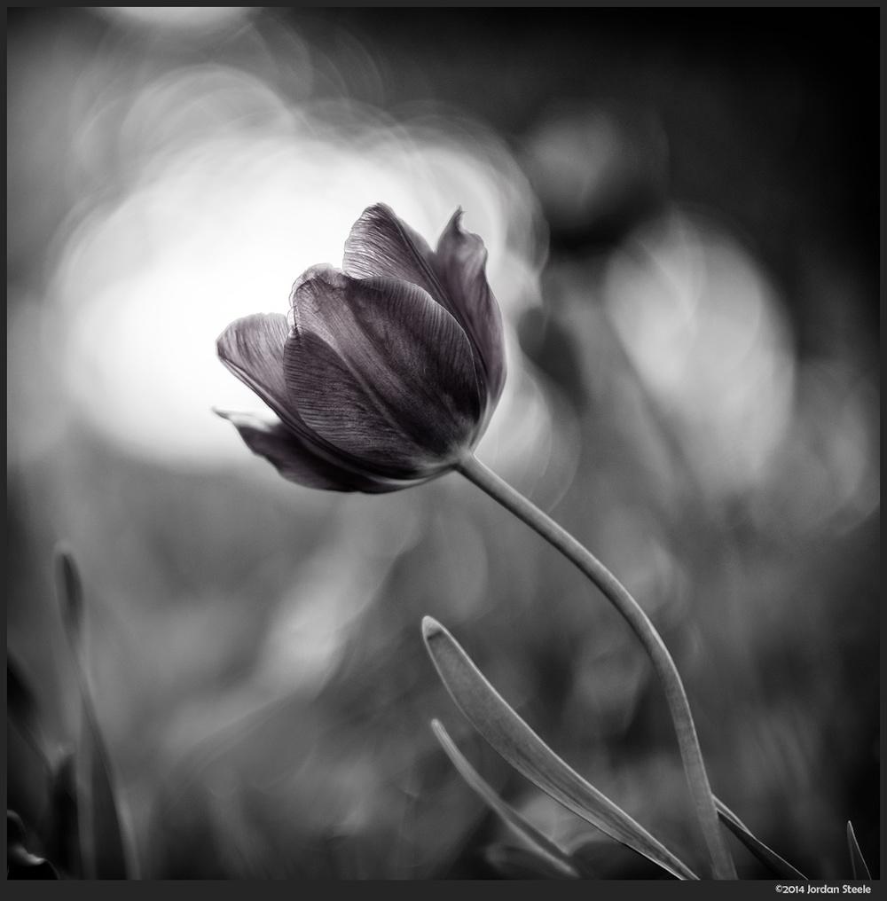 lone_tulip.jpg