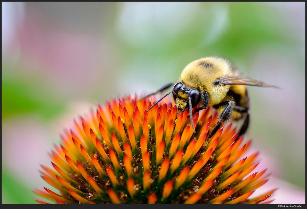 bumblebee1.jpg