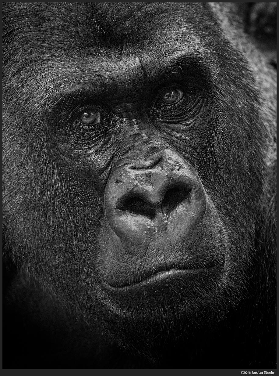 gorilla_portrait.jpg
