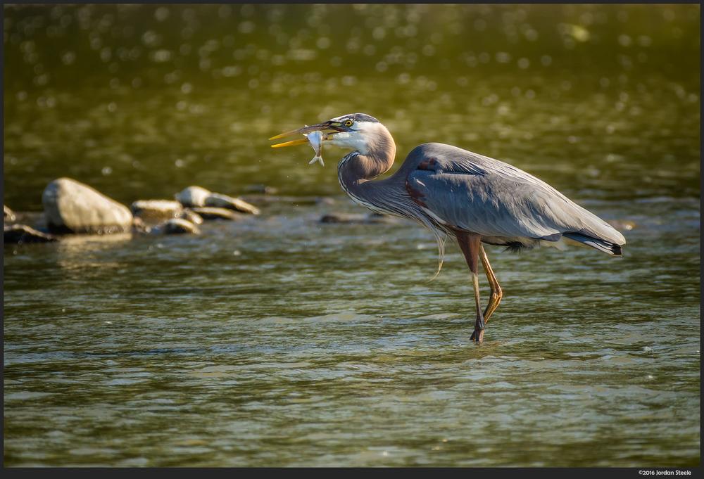 heron_fish.jpg