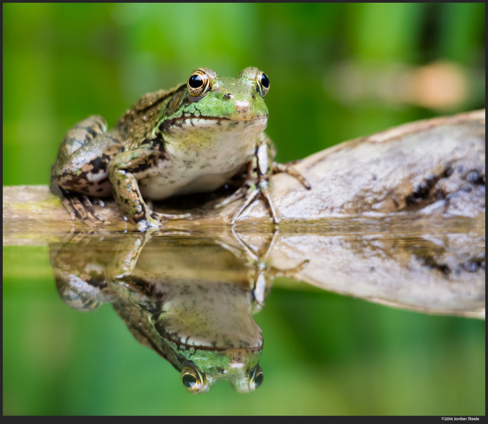 northern_green_frog.jpg