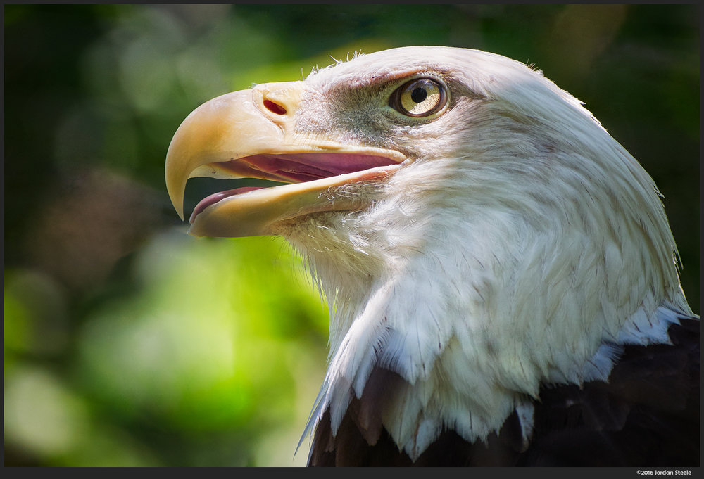 bald_eagle_head.jpg
