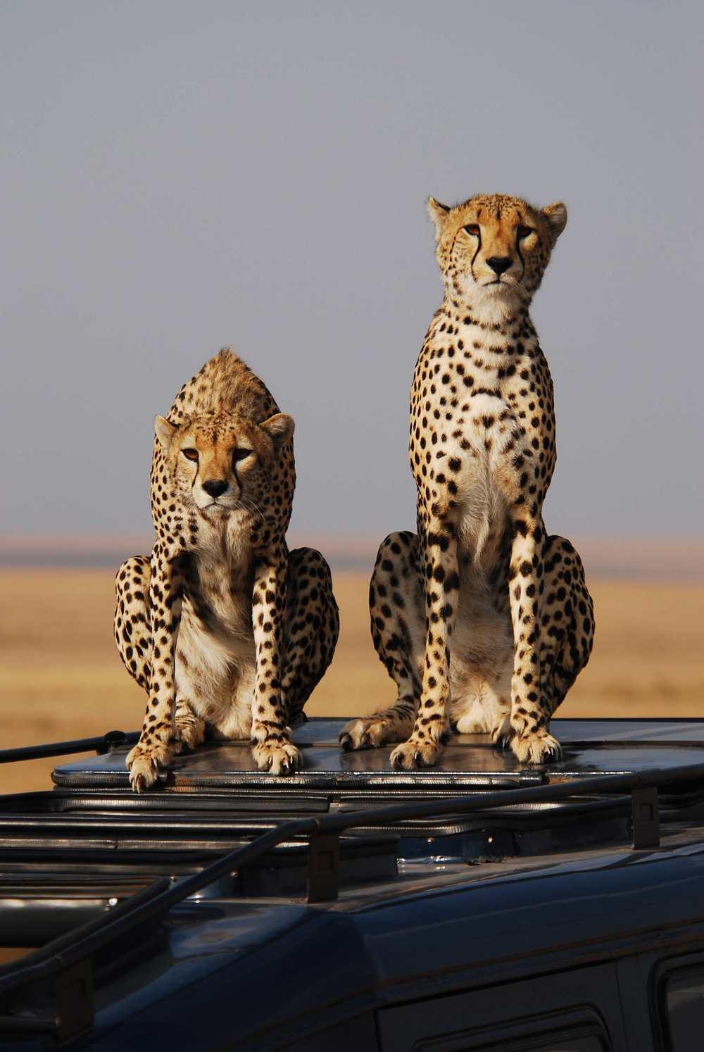 Cheetahs on roof 2.jpeg