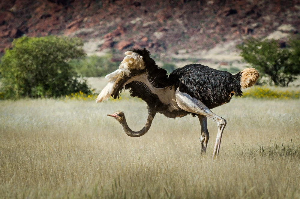 Namibia_ostrich.jpg