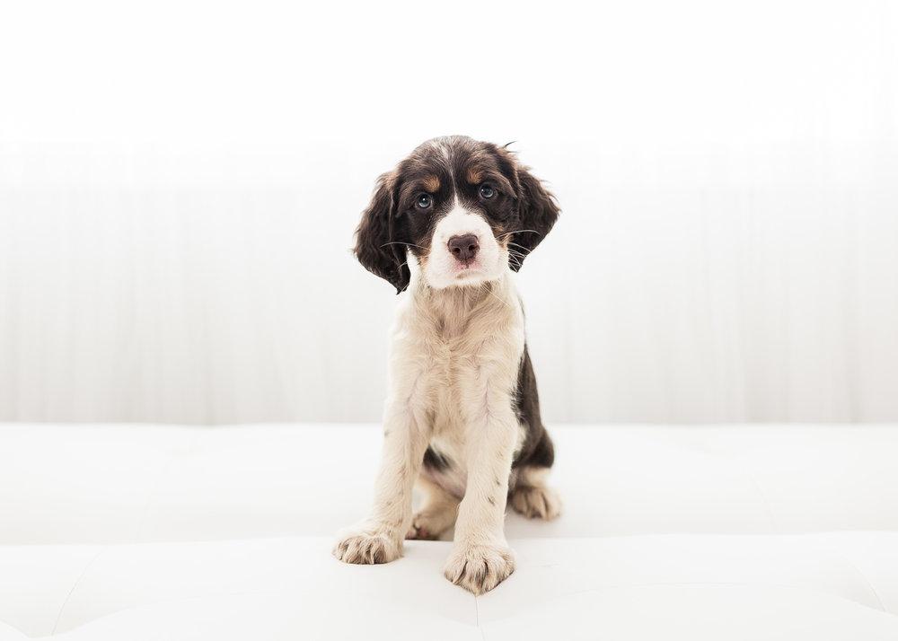 English-Springer-Spaniel-Puppies-In-Virginia-001.JPG