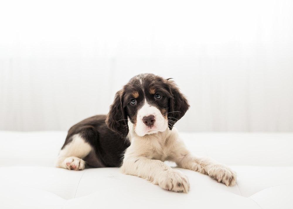 English-Springer-Spaniel-Puppies-In-Virginia-002.JPG