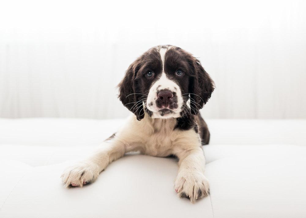 English-Springer-Spaniel-Puppies-In-Virginia-005.JPG