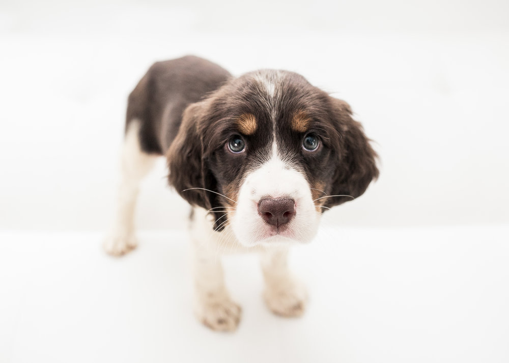 English-Springer-Spaniel-Puppies-In-Virginia-011.JPG