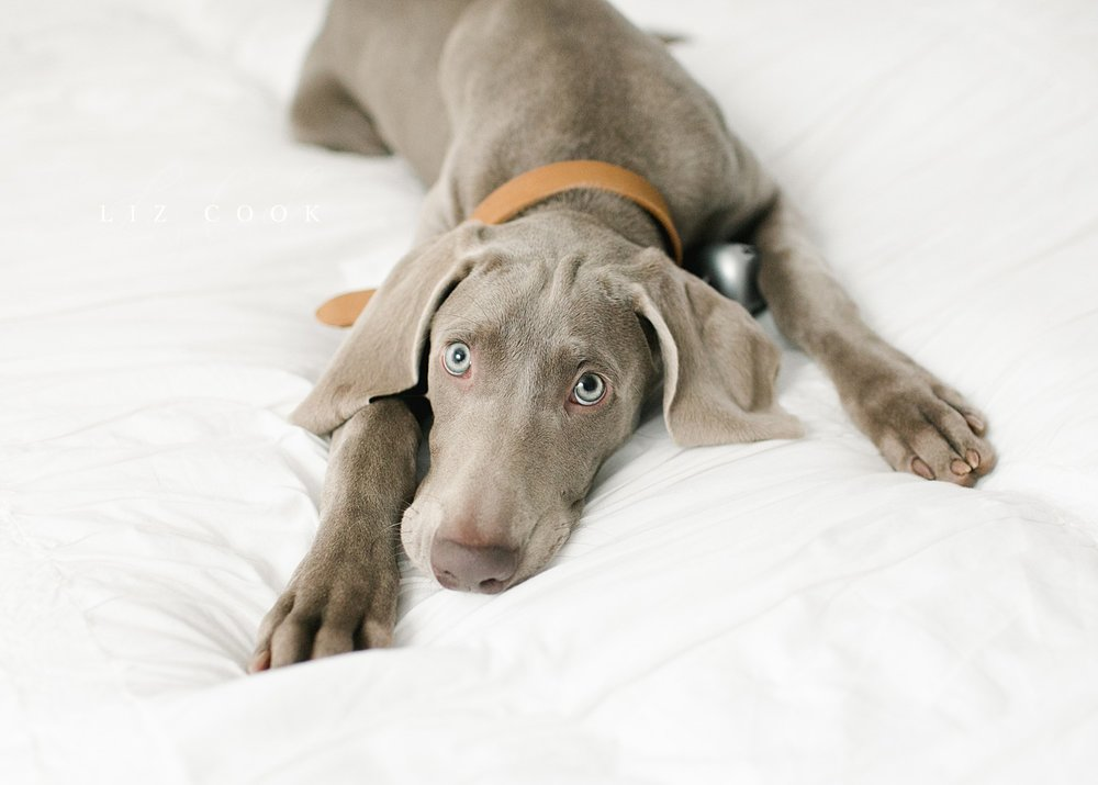 lynchburg_virginia_photography_studio_assistant_weimaraner_puppy_0011.jpg