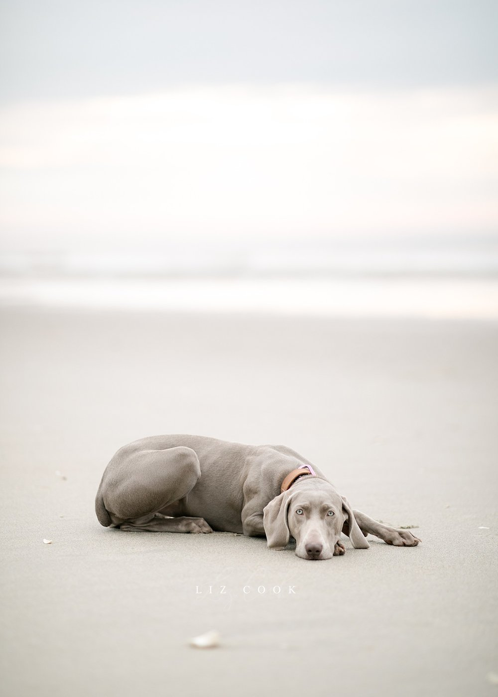 lynchburg_virginia_photography_studio_assistant_weimaraner_puppy_0013.jpg